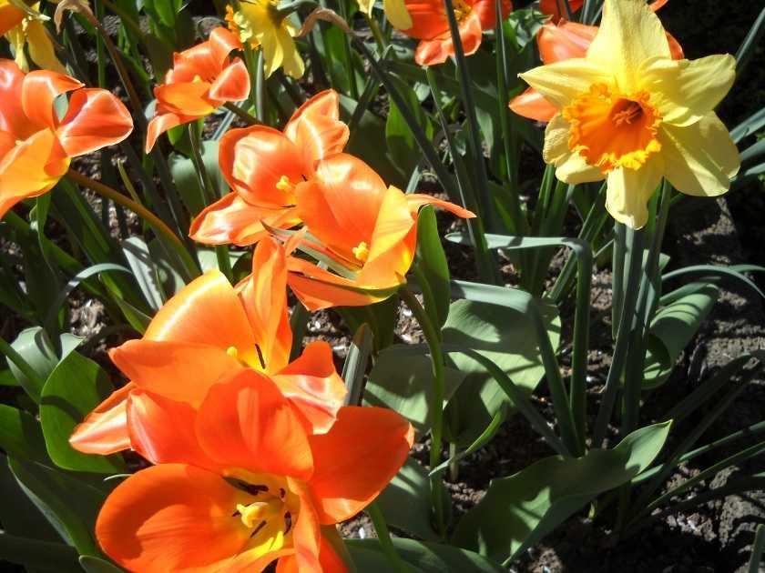 Frühling in Deutschland, blühende Tulpen und Narzissen