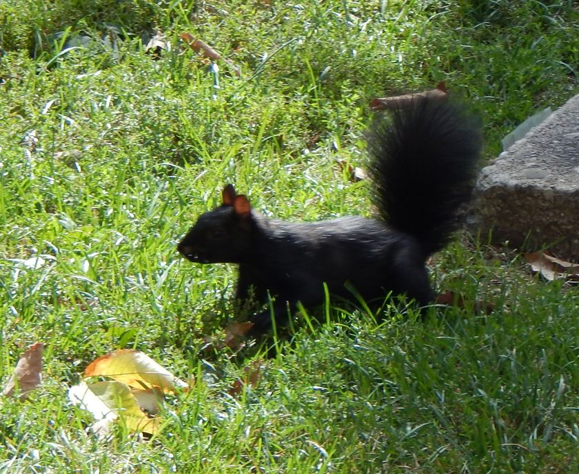 schwarzes Eichhörnchen Kanada