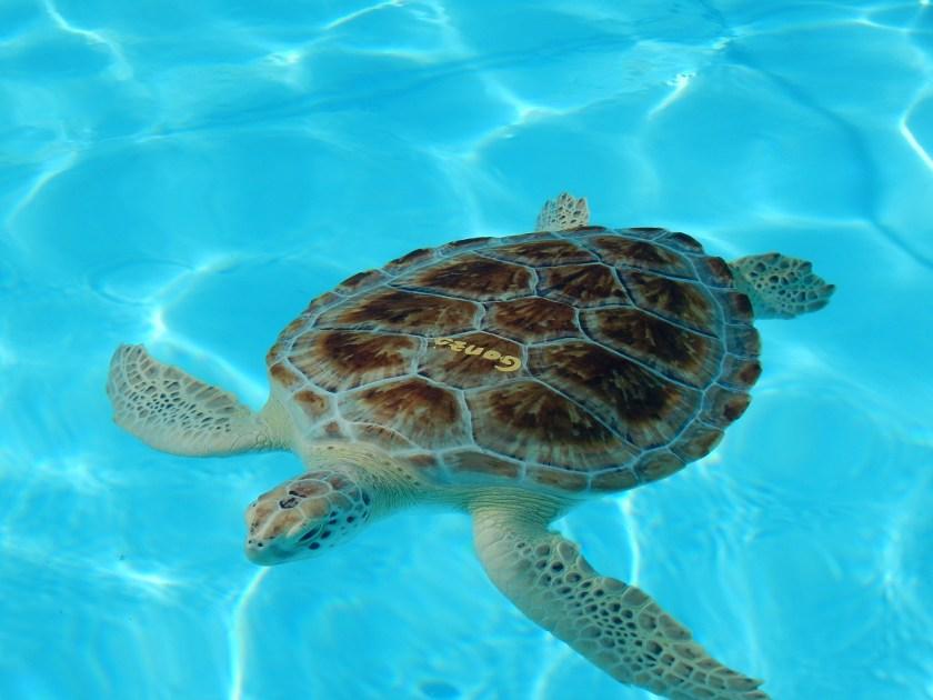 Gonzo im Schildkrötenkrankenhaus in Florida