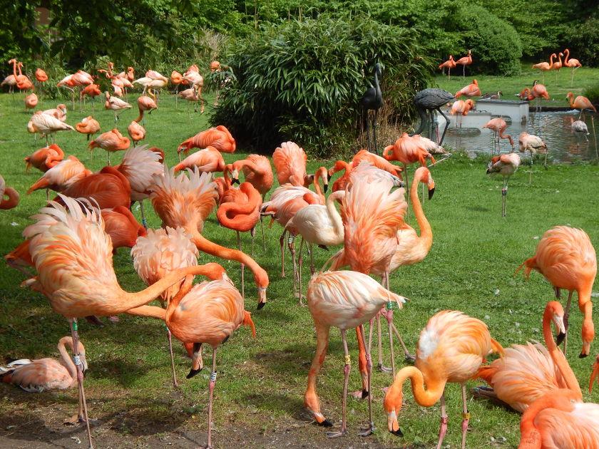 Kölner Zoo, die rosafarbenen Flamingos.